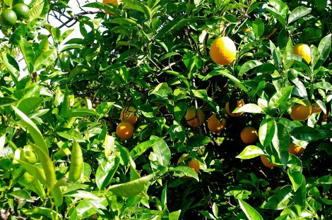One of the orange trees. There were so many.
